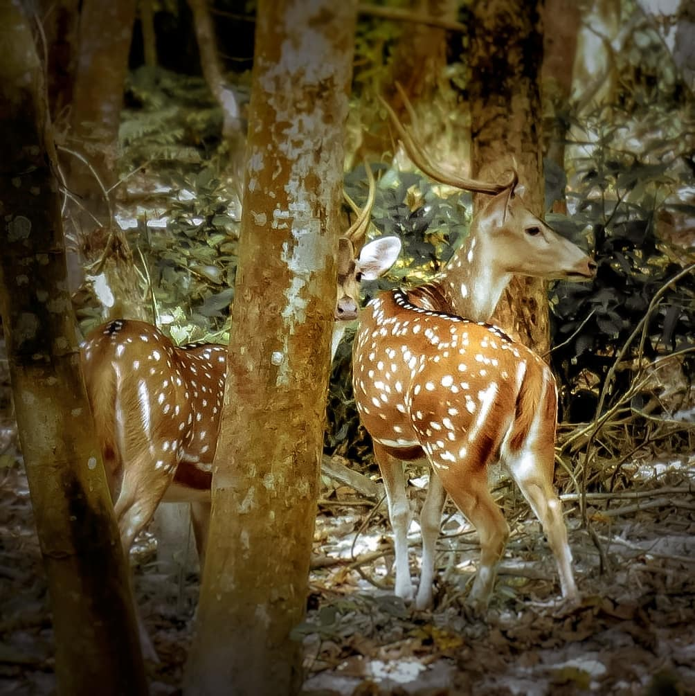 Chital or Spotted deer at Chitwan National Park